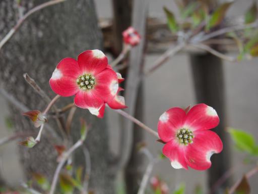 20180408・夏近し近所の植物20・ハナミズキ(紅)