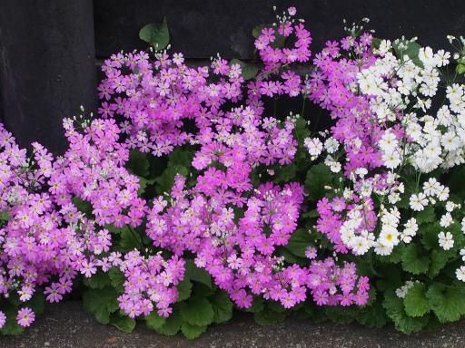 20180408・夏近し近所の植物19・サクラソウ