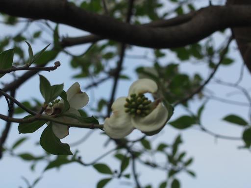 20180408・夏近し近所の植物27・ハナミズキ(白)
