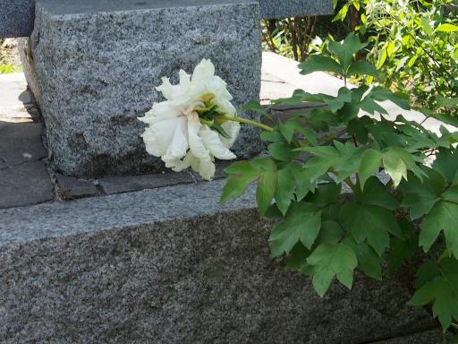 20180428・多聞院1-11・白い花もあり