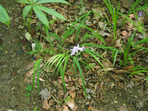 20180428・多聞院植物10・ヒメシャガ