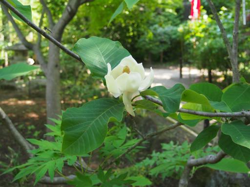20180428・多聞院植物13・オオヤマレンゲ