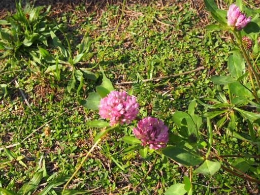 20180428・多聞院植物28・ムラサキツメクサ
