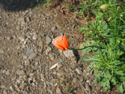 20180428・多聞院植物25・ナガミヒナゲシ