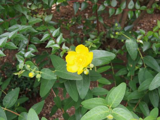 20180526・近所の植物02・キンシバイ