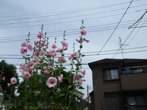 20180526・近所の植物01・タチアオイ