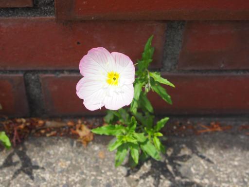 20180526・近所の植物11・ヒルザキツキミソウ