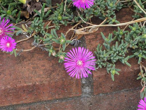 20180526・近所の植物12・マツバギク