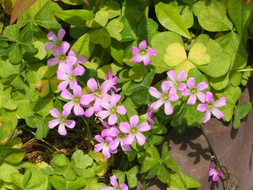 20180526・近所の植物09・ムラサキカタバミ