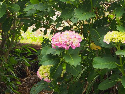 20180526・近所の植物15・アジサイ