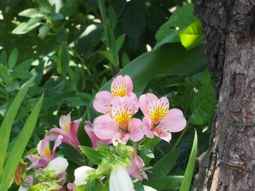 20180603・上北台へ植物07・アルストロメリア