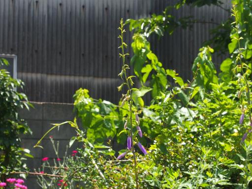 20180603・上北台へ植物05・ハタザオキキョウ