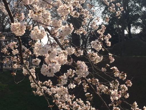 桜0001