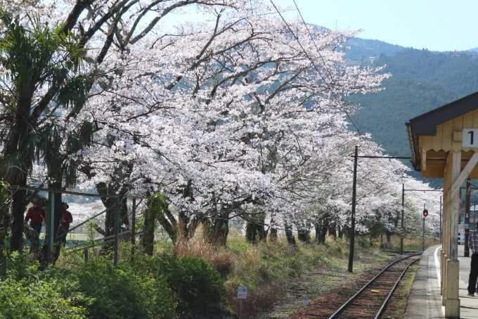 桜が満開~~