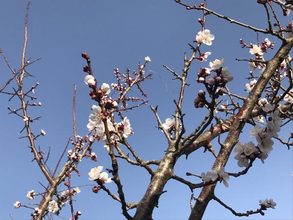 180401-桜