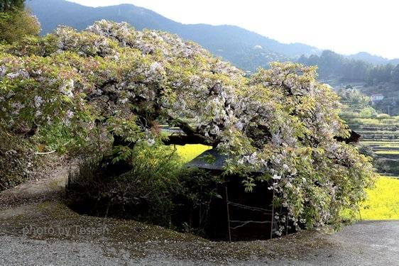 IMG_0899葉桜