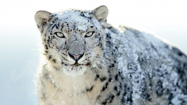 snow-leopard_0-624x351.jpg