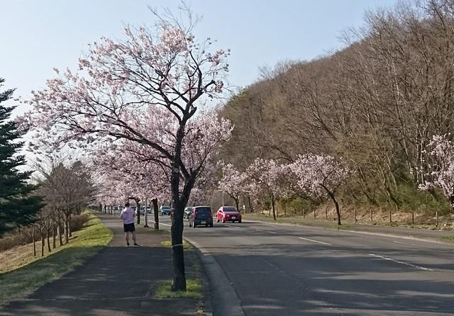 s公園の桜