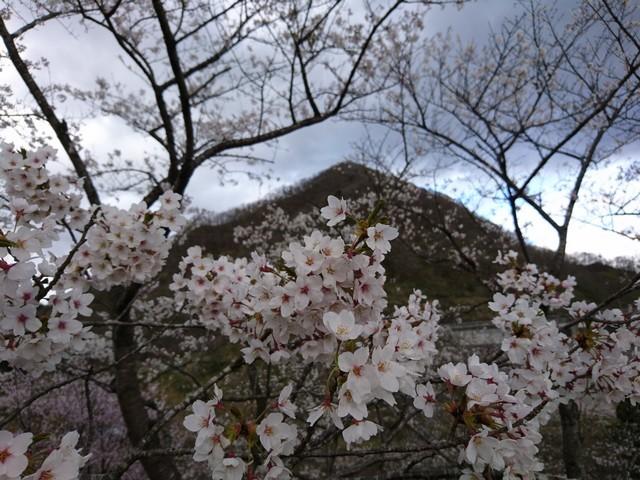 s桜と鎌倉山