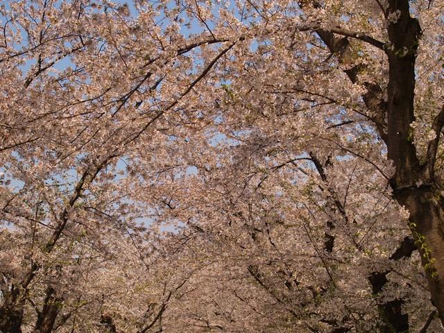 s桜のトンネル6