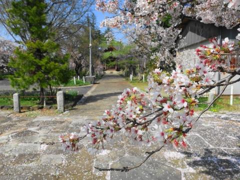 「国分寺の桜」⑤_R