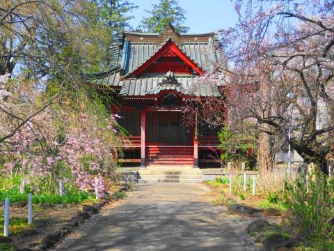 「国分寺の桜」⑥_R