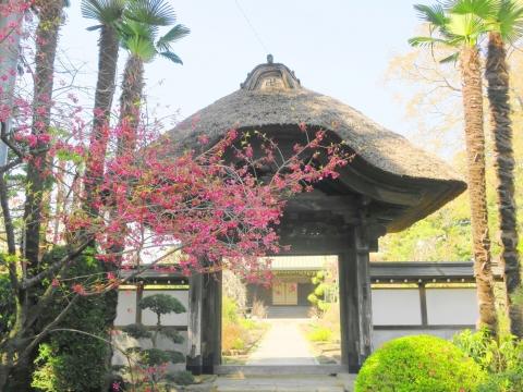 「国分寺の桜」⑩_R