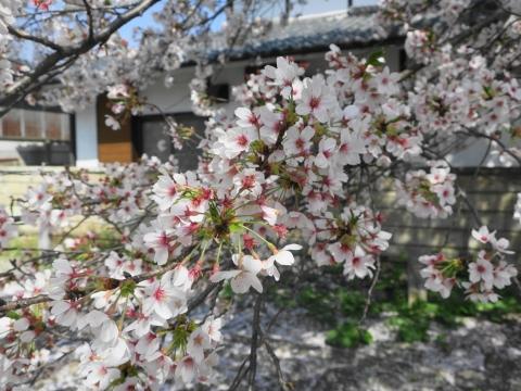 「国分寺の桜」⑭_R