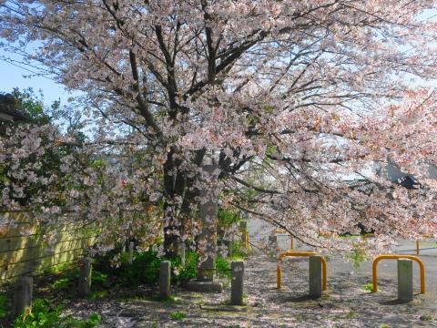 「国分寺の桜」⑮_R