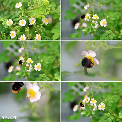 お庭のバラとハチさん♪