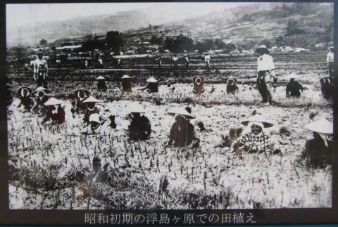 昭和初期の浮島ヶ原での田植え