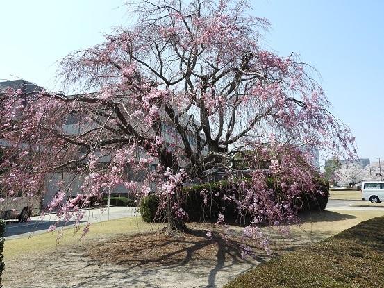 2018年 トヨタ本社枝垂れ桜