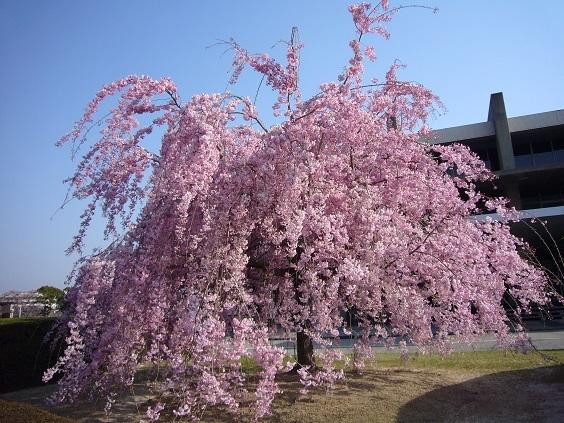 20 2008年 トヨタ本社枝垂れ桜