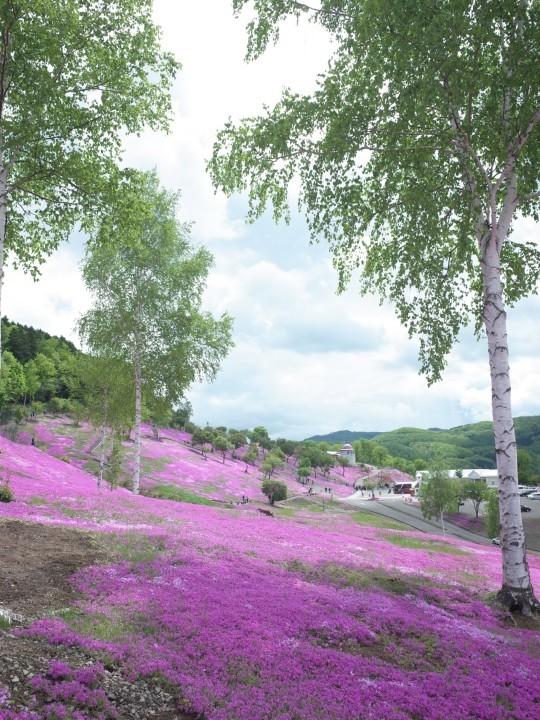 滝上芝桜03