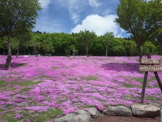 滝上芝桜06