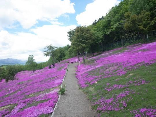 滝上芝桜10