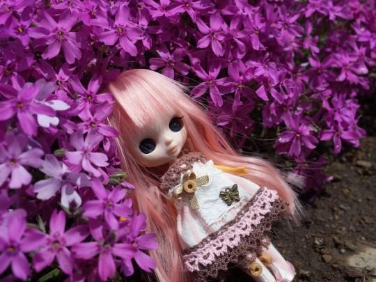 滝上芝桜21