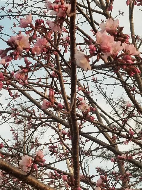 20180426桜
