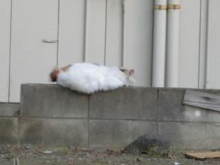 20180505-ご近所外猫-07