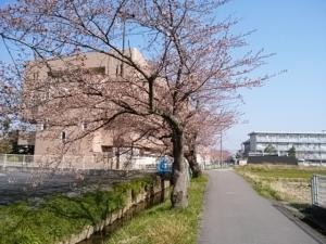 2018桜並木2