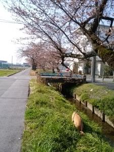 2018桜並木4