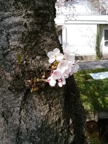 2018桜並木9