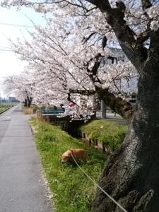 2018桜並木7