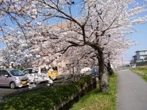2018桜並木6