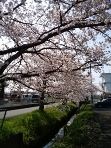 2018桜並木8