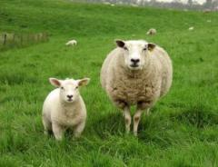 sheep-and-lamb-on-the-grass_2285920_convert_20150101175546.jpg