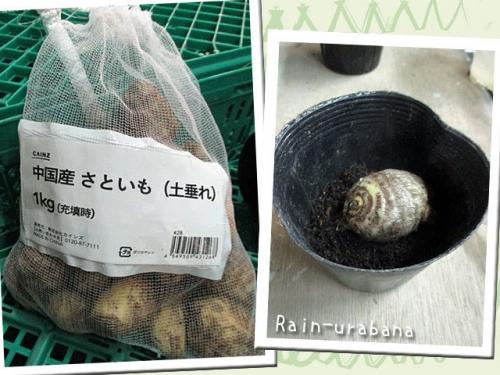サトイモの種イモ買って来た♪
