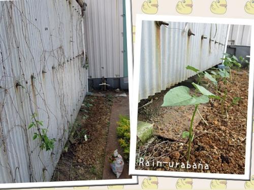 モロッコ豆を植えました♪