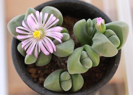 無比玉のお花
