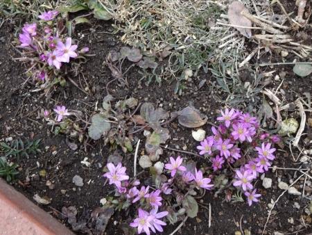 4月12日 雪割草